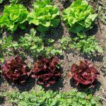 Salatvielfalt © BFA