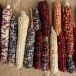 """Am Bild sehen Sie bunten Mais aus dem """"Garten der Vielfalt""""."""