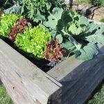 Hochbeet mit Salat©Sabine-Seidl-die-umweltberatung