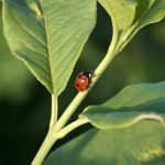 ladybird - an important beneficial insect © Ingrid_Tributsch