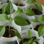 Chili und Paprika Jungpflanzen